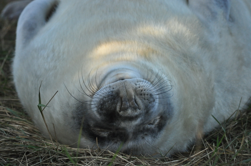 Seals at Donna Nook, Lincolnshire, UK