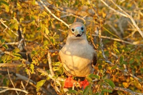 Red-footed booby in the Galapagos Islands