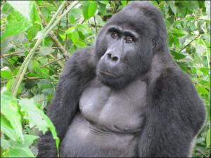 Gorillas in Uganda - Photo from Sanctuary Retreats