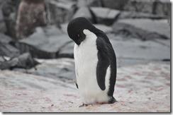 Day 8 - 16 March - Petermann Island & Girard Bay 2012-03-16 014