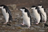Mr Men of Antarctic Penguins