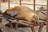 Sealions – Kings of San Cristobal Island,Galapagos