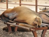 Sealions – Kings of San Cristobal Island, Galapagos
